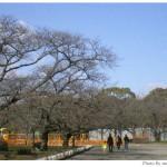 京都府立植物園の桜再生改良工事を見て