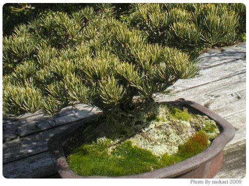 20090225 京都府立植物園で盆栽をみて盆栽っていいな。と思った。