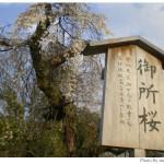 京都花見:上賀茂神社2009年