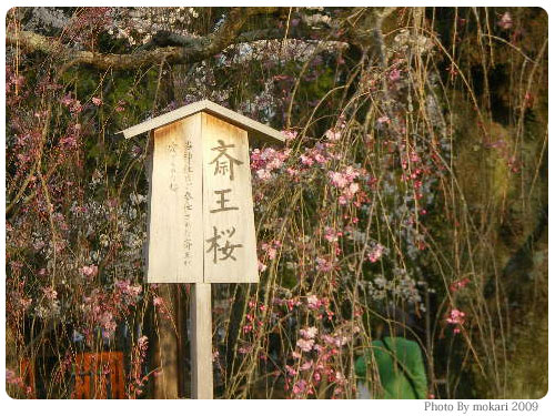 20090410-5 斎王桜 京都市花見:上賀茂神社2009年