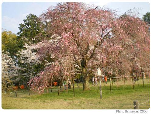 20090410-6 斎王桜 京都市花見:上賀茂神社2009年