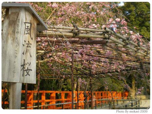 20090410-7 風流桜 京都市花見:上賀茂神社2009年