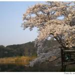 京都花見:深泥池2009年