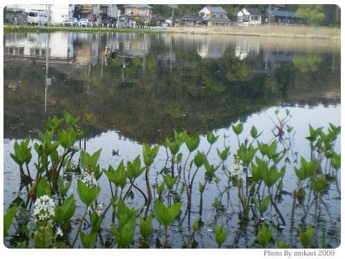 20090411-4 京都市花見:深泥池2009年