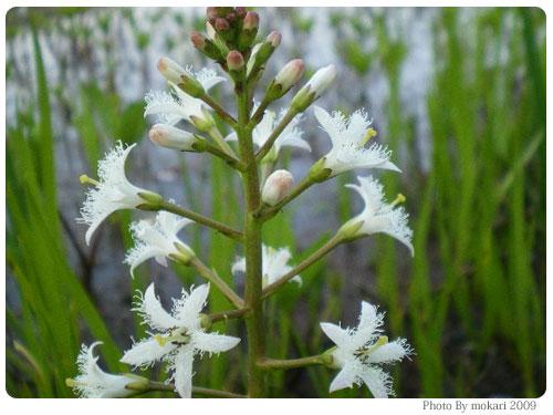20090411-5 京都市花見:深泥池2009年
