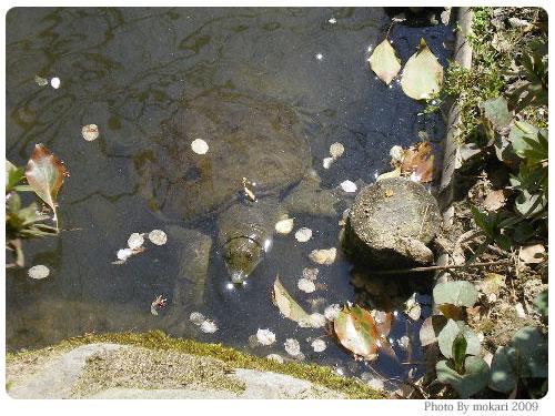 平安神宮 神苑 花見 2009年 フレンドリーな亀