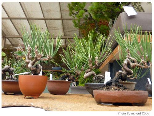 20091025-5 第12回秋の京都盆栽展を京都府立植物園で見る