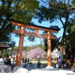 京都花見:上賀茂神社2010年 斎王桜