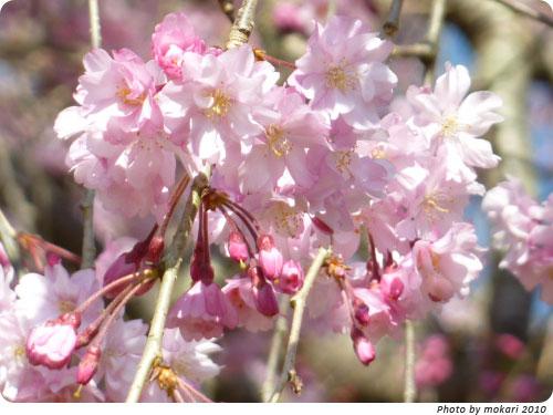 20100412-15 京都市花見:上賀茂神社2010年
