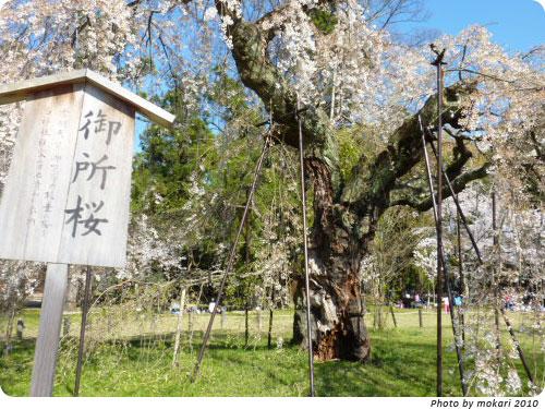 20100412-18 京都市花見:上賀茂神社2010年 御所桜