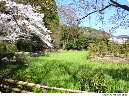 20100412-6 京都市花見:大田神社2010年