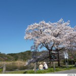 京都花見:深泥池2010年4月