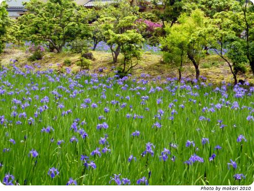 20100509-2 大田神社2010年 カキツバタ群落を見に
