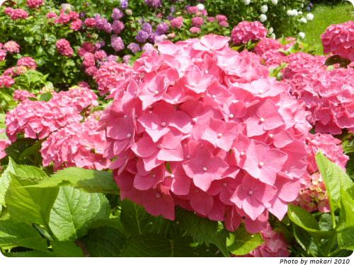 20100629-4 2010年京都府立植物園のあじさいと、園長さんありがとう。