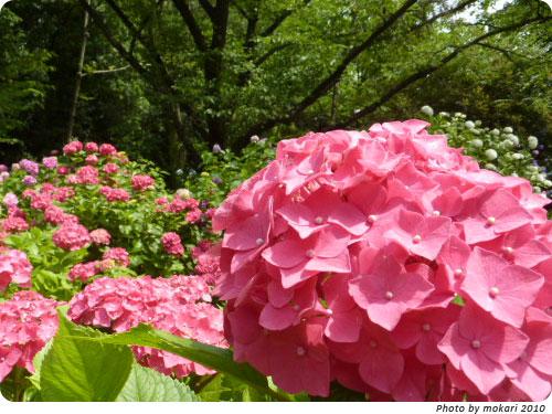 20100629-5 2010年京都府立植物園のあじさいと、園長さんありがとう。