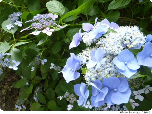 20100629-7 2010年京都府立植物園のあじさいと、園長さんありがとう。