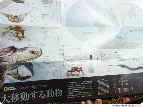 20101202-1 娘が喜んだナショジオ2010年11月号の付録-大移動する動物-