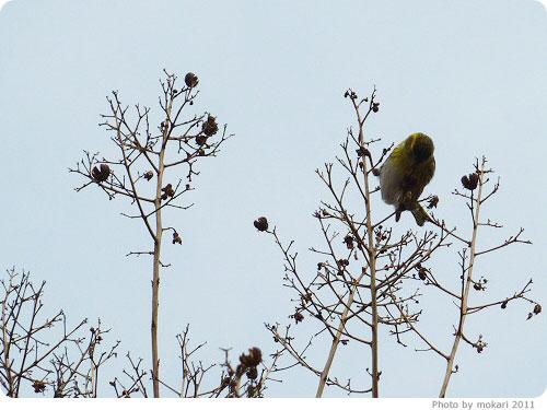 201103018-13. 京都府立植物園に梅を見に(2011年3月)