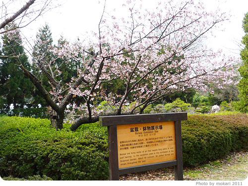 201103018-16 京都府立植物園に梅を見に(2011年3月)