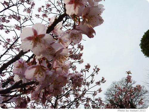 201103018-17 京都府立植物園に梅を見に(2011年3月)