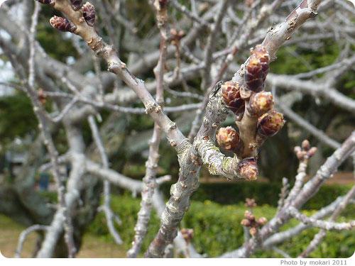 201103018-3 京都御所に梅を見に(2011年3月)