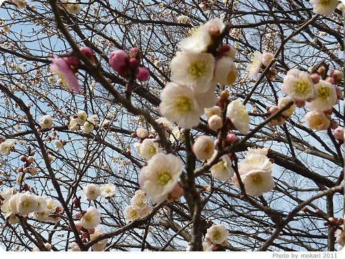 201103018-4 京都御所に梅を見に(2011年3月)
