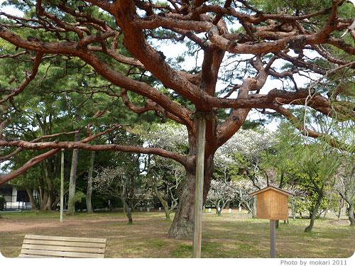 201103018-5 京都御所に梅を見に(2011年3月)