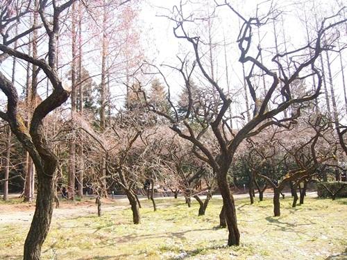 P2263177 梅を見に、京都府立植物園へ(2013年)