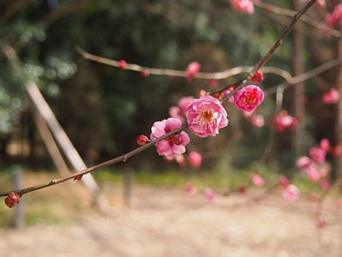 P2263181 梅を見に、京都府立植物園へ(2013年)