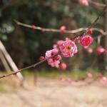 梅を見に京都府立植物園へ(2013年2月末)