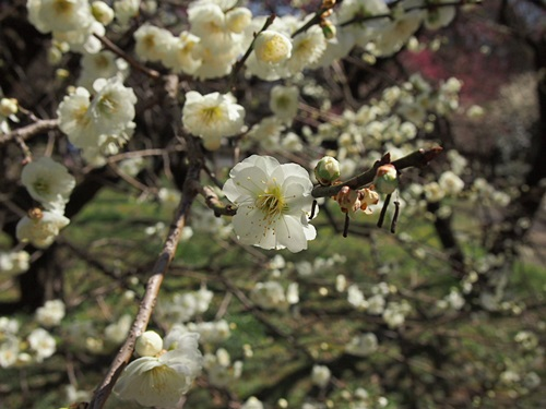 P3123927 3月梅を見に、京都府立植物園へ(2013年)
