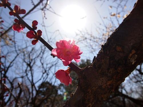 P3123973 3月梅を見に、京都府立植物園へ(2013年)