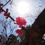 梅を見に京都府立植物園へ(2013年3月)