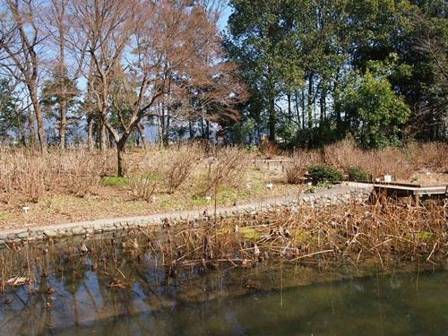 P3124046 3月桜はまだ。京都府立植物園、これから楽しみな花(2013年)