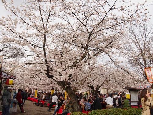 P3314810 円山公園で花見(2013年3月)
