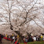 円山公園で花見(2013年3月下旬)