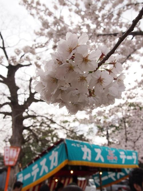 P3314827 円山公園で花見(2013年3月)