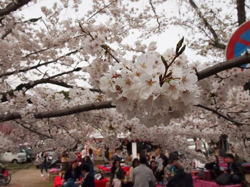 P3314828 円山公園で花見(2013年3月)
