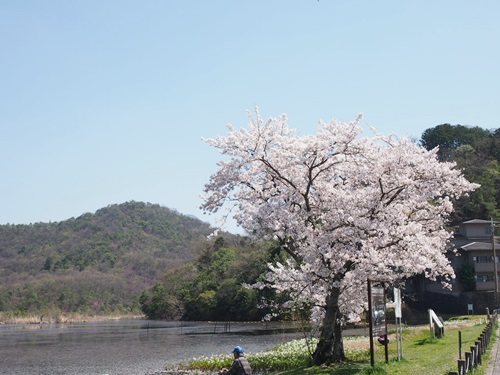 P4055048 深泥池で桜とミツガシワ(2013年4月)