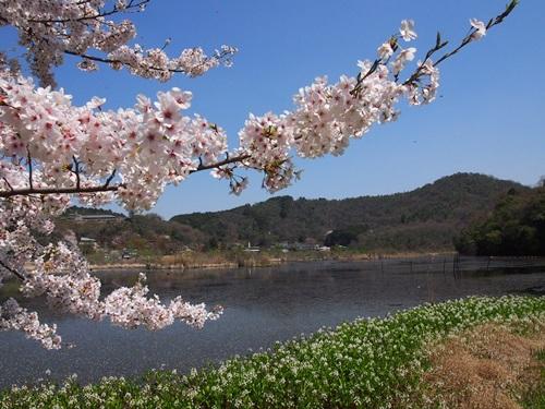 P4055053 深泥池で桜とミツガシワ(2013年4月)