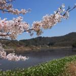 深泥池で桜とミツガシワ(2013年4月)