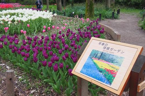 P4175913 早春の球根ガーデン