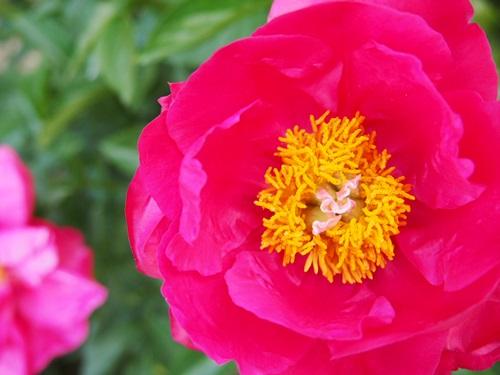 P5095805 シャクヤクを見に京都府立植物園へ(2013年5月)