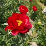 シャクヤクを見に京都府立植物園へ(2013年5月)