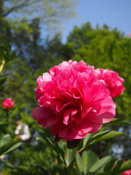 P5095819 シャクヤクを見に京都府立植物園へ(2013年5月)