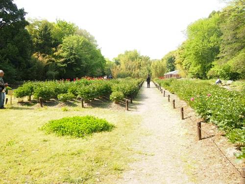 P5095826 シャクヤクを見に京都府立植物園へ(2013年5月)