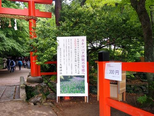 P5152973 大田神社でかきつばたを見る(2014年5月)