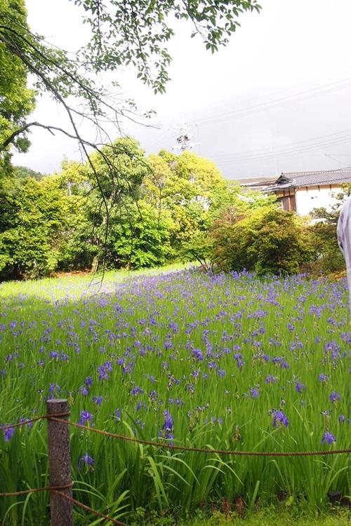 P5152988 大田神社でかきつばたを見る(2014年5月)