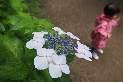 P6166167 植物園でアジサイ(2015年6月)