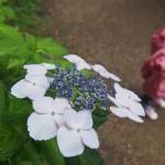 植物園でアジサイ(2015年6月)